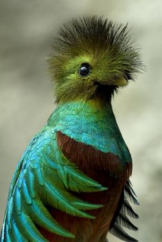 Quetzal Кетцаль(квезал) - прица семейства трогоновых, отряд трогонообразных, населяет горыне леса от Южной Мексики до Панамы. Почитался майя и ацтеками. Сейчас в Красной книге. Изображен на гербе Гватемалы