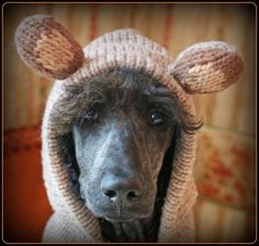"""silly standard poodle OWNER!!  Poodle says,""""There better be food  involved in this get-up!!"""""""