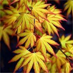 Acer palmatum 'Katsura'* - (Japanese Maple 'Katsura')