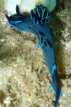 The Sea Slug Forum - Tambja morosa
