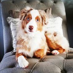 Mini Australian Shepherd. My grand puppy beautiful boy Ajax Six months