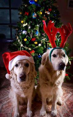 Reindeer dogs
