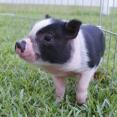 Carolina Mini Pig - Annabelle (AMPA) Mini Pigs For Sale, Juliana Pigs, Cute Animals, Pets, Happy, Pretty Animals, Cutest Animals, Cute Funny Animals, Ser Feliz