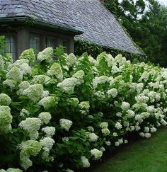 hydrangeas. For the front  of the house instead of just green bushes