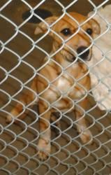 Misty is an adoptable Pit Bull Terrier Dog in Emporia, KS.  ..adopted.
