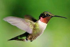 Ruby throated hummimgbird