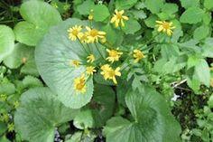 Golden Ragwort ~ Packera aurea (Senecio aureus)