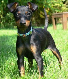 Manchester Terrier / Gentleman's Terrier / English Toy Terrier