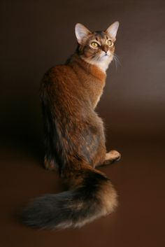 Somali Cat | Somali Cat Health Concerns