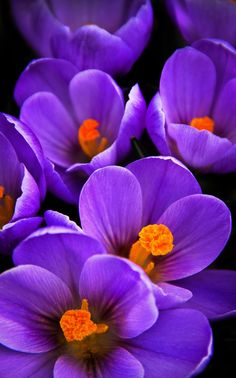 ~~let the color in your heart ~ purple crocus by Tanja Stumpf~~