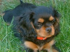 Buddy, the Cavalier King Charles Spaniel at 12 weeks old
