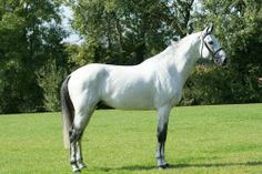centino of ry - stallions at stud - Wurttemberger