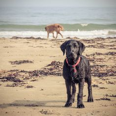 Max enjoying the beach Past, Beach, Dogs, Animals, Past Tense, Animales, The Beach, Animaux, Pet Dogs