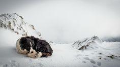 Pies, Pagórki, Śnieg, Zima