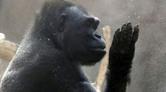 Gorillas Have Capacity For Speech: Research
