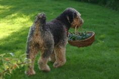 Airedale Kira