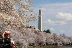 Tourists look at the cherry blossom trees around the Tidal Basin in full bloom in Washington, March 19, 2012.