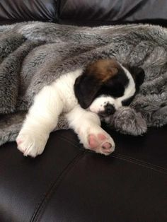 Saint Bernard puppy :) One day he will be bigger than that couch