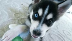Joey Graceffa dog, Wolf ♡ѕσмєσиє α¢тυαℓℓу *Datcatladytho