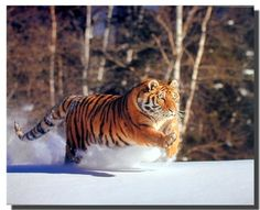 If you are fond of wildlife, you ought to get this Siberian Tiger running in snow wildlife decor art print poster. It will enhance your home decor instantly. This wall poster will be an ideal pick for your drawing room to upgrade the interiors. So what are you waiting for, Buy this cutest piece of art for its excellent quality and perfect color accuracy.