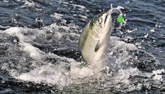 GoAltaCA | Adult salmon are now finning off the Southern Oregon and Northern California coasts
