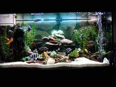 Cichlid tank -