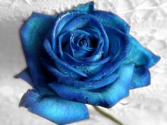 Blue Rose Images Free | Piccry.com: Picture Idea Gallery