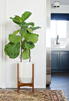 Modernica Hex planter & fiddle leaf fig tree make a perfect pairing!