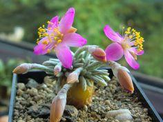 Avonia quinaria - See more at: http://worldofsucculents.com/avonia-quinaria
