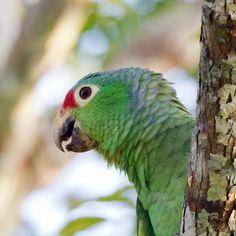 Birds in Panama