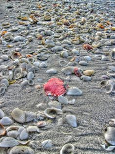 ARTIST:  Greg and Chrystal Mimbs  Sanibel Island, Florida is famous for it's abundance of sea shells. Here a red shell stands out as if making a fashion statement.    Love this shot.