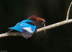 White-Throated Kingfisher. Photo by Lawrence Neo