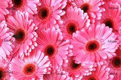 Pink Gerber Daisies are my favorite
