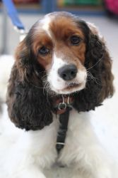 Charlie is an adoptable Cocker Spaniel Dog in Minneapolis, MN. Please request an online application at dogs@pethavenmn.org. Age:  3.5 yrs old (DOB 9/1/2008) Good with dogs:  He likes to play with othe...