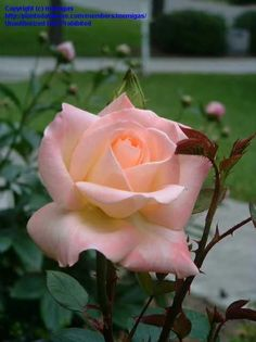 Princess Diana Rose Hybrid | Diana, Princess of Wales Hybrid Tea Rose - Butter cream base of the ...