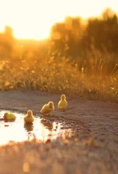 Farm Animals, Funny Animals, Cute Animals, Beautiful Birds, Life Is Beautiful, Duck Wallpaper, Duck Pictures, Cute Creatures, Country Life