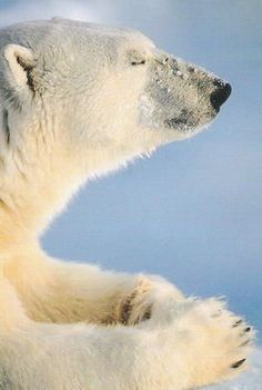 I pray climate change will end and there will be snow and ice forever in my land. #polarbears Visit our page here: http://what-do-animals-eat.com/polar-bears/