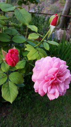 "Rosa ""Alexandra of kent"""