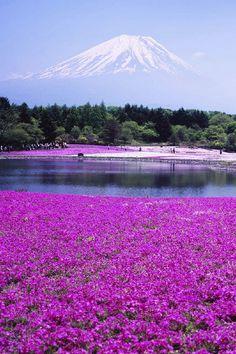 Fuji Shibazakura Japan Moss Pink iPhone 4 Wallpaper | 4iPhoneWallpapers.com