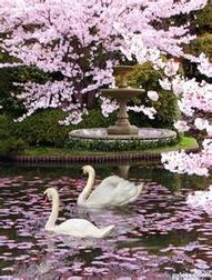 Swans under cherry blossoms