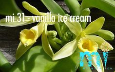 Vanilla bean plant is the most common vanilla using as a home plant. Vanilla bean plant like most orchids is epiphytic but can grow as terrestrial plant as well. Grow Vanilla Beans, Vanilla Plant, Bourbon Vanille, Bean Plant, Aromatherapy Benefits, Homestead Gardens, Orchid Plants, Orchidaceae, Live Plants
