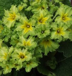 primrose varieties photos green colour - Google Search