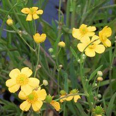 RANUNCULUS FLAMMULA - (British Native)