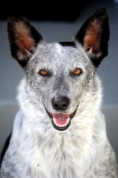 Australian cattle dog  Eyes that look right through you....