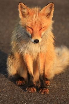 This fox looks like he is soaking up the morning sun.