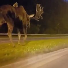 Meanwhile in Alaska, this giant Moose is wandering the streets at midnight 🦌 - TIERE - Animals Cute Funny Animals, Cute Baby Animals, Funny Cute, Nature Animals, Animals And Pets, Beautiful Creatures, Animals Beautiful, Photo Animaliere, Funny Animal Videos