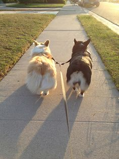 Corgis.  Somehow I don't see my goldens doing this.