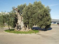 Bonsai, Country Roads, Plants, Botany, Interesting Facts, Majorca, Plant, Planets, String Garden