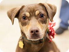 Dallas, TX - Dachshund/Terrier (Unknown Type, Small) Mix. Meet Rain a Dog for Adoption.