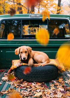 Golden Retriever Puppies – 5 Things To Search For When Purchasing A Puppy Cute Baby Animals, Animals And Pets, Funny Animals, Cute Puppies, Cute Dogs, Dogs And Puppies, Doggies, Autumn Photography, Film Photography